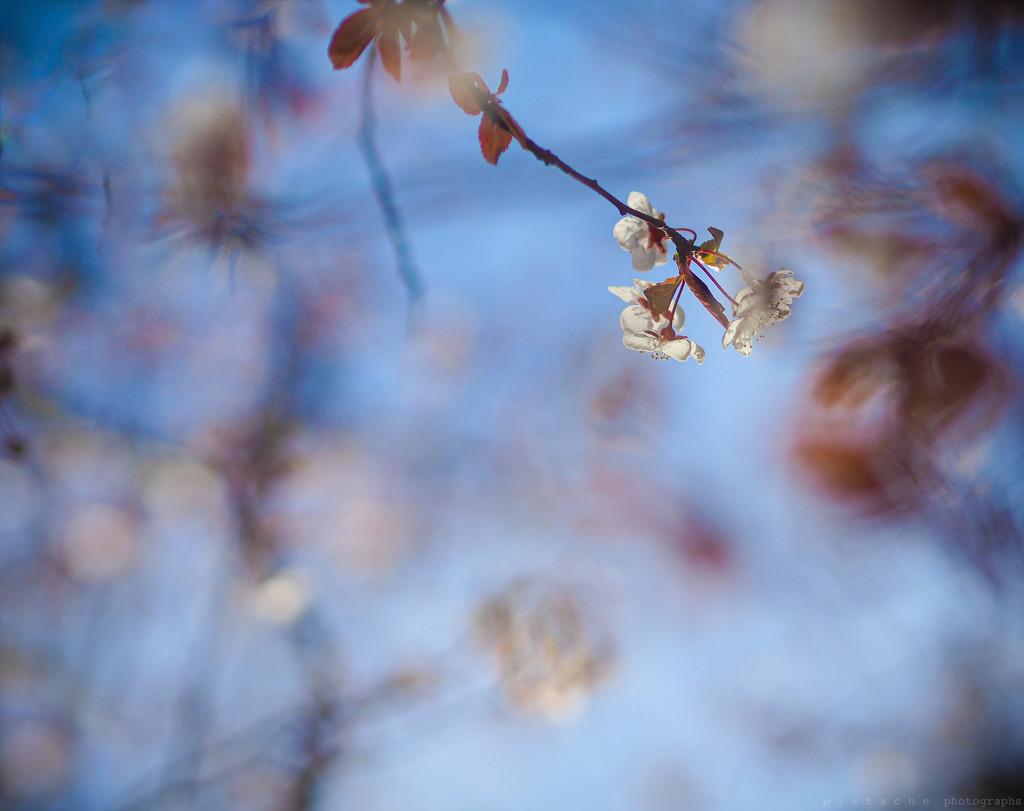 b b b blossom by pistache