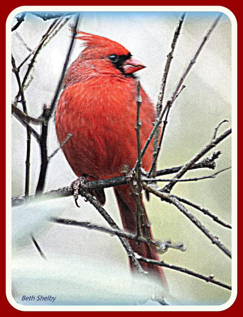 Papa Cardinal by vernabeth