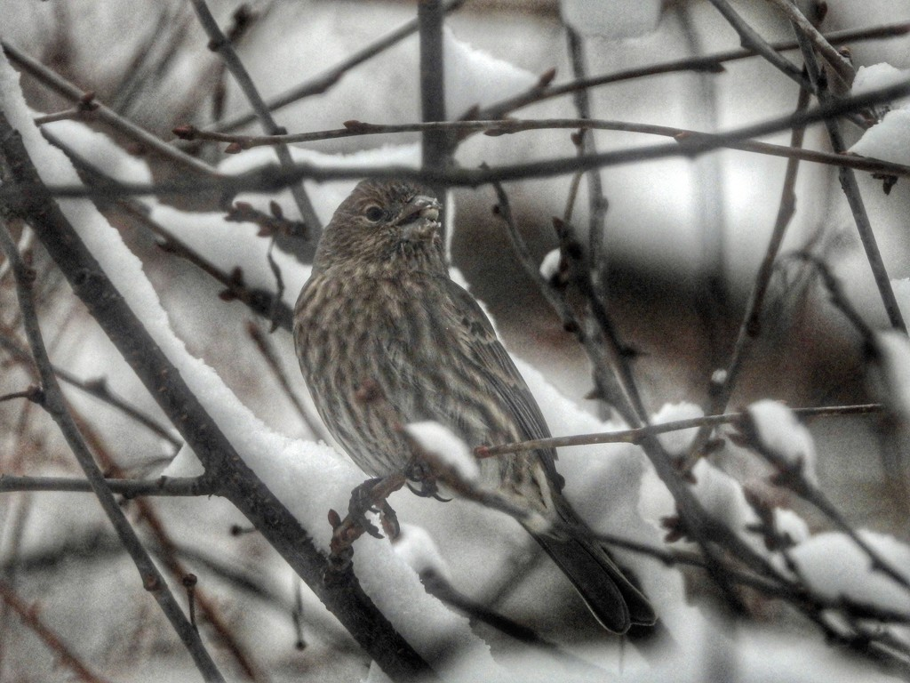 February finch by amyk
