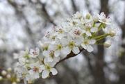 12th Feb 2020 - Bradford Pear in bloom