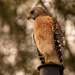Red Shouldered Hawk on the Lamp Post!