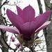Magnolia Tulip