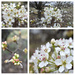 Bradford Pear Collage