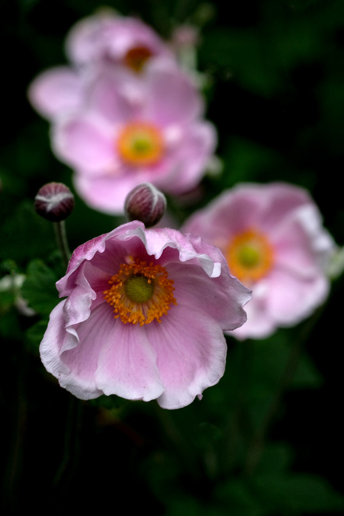 Pink Japanese  anemone by maureenpp