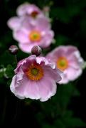 13th Feb 2020 - Pink Japanese  anemone