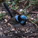 Male Blue Wren
