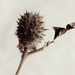 Seed head by yorkshirekiwi