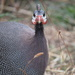 Ginger - Mrs Guinea Fowl