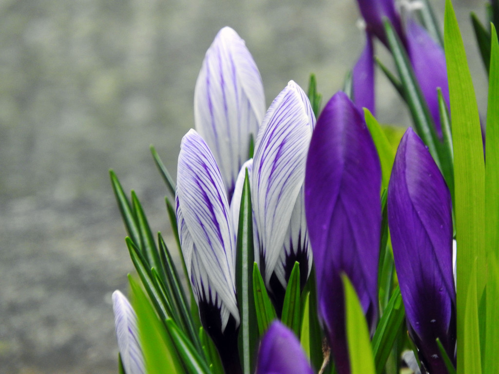 Crocus Beginnings... by seattlite