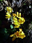 13th Feb 2020 - Crocus in the garden