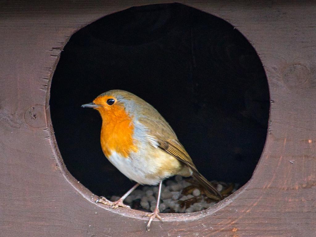 Robin In The Feed Box  by tonygig