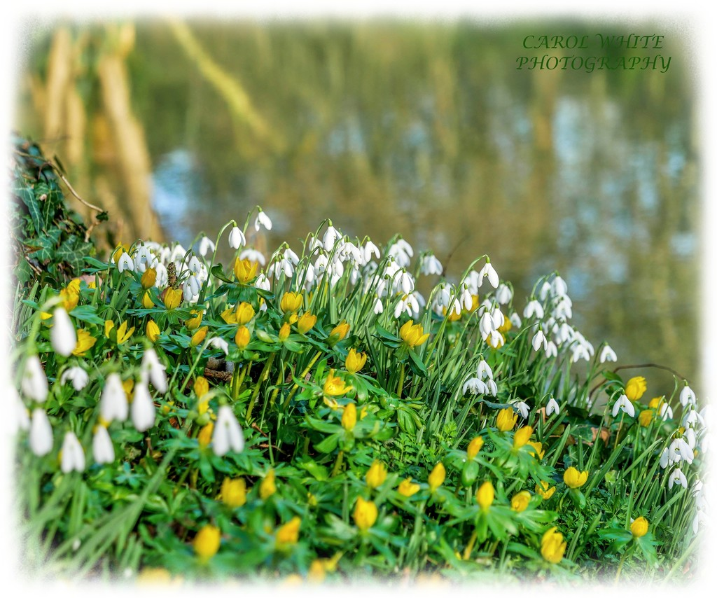 Snowdrops And Aconites By The Lake by carolmw