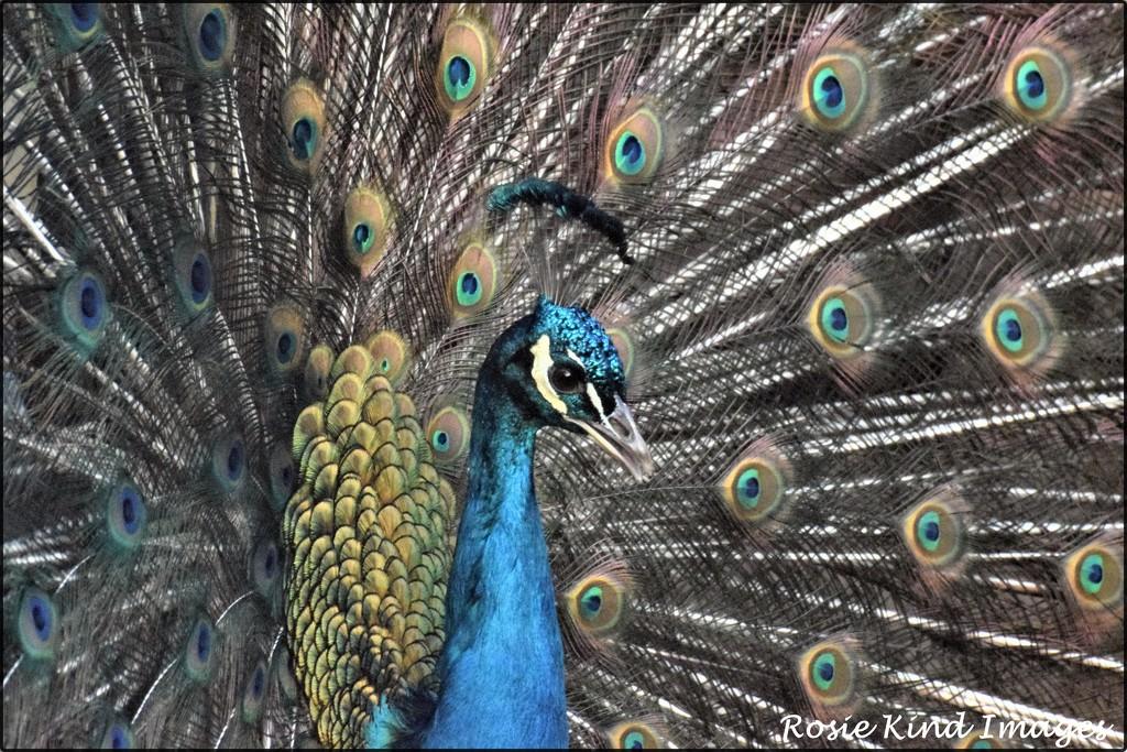 Proud as a peacock by rosiekind