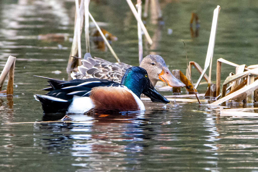 Mr and Mrs Shoveler Duck by stevejacob