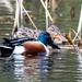Mr and Mrs Shoveler Duck