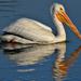 Pelican Pastoral
