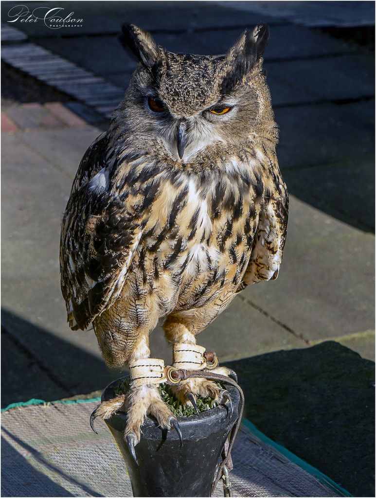 Eagle Owl by pcoulson