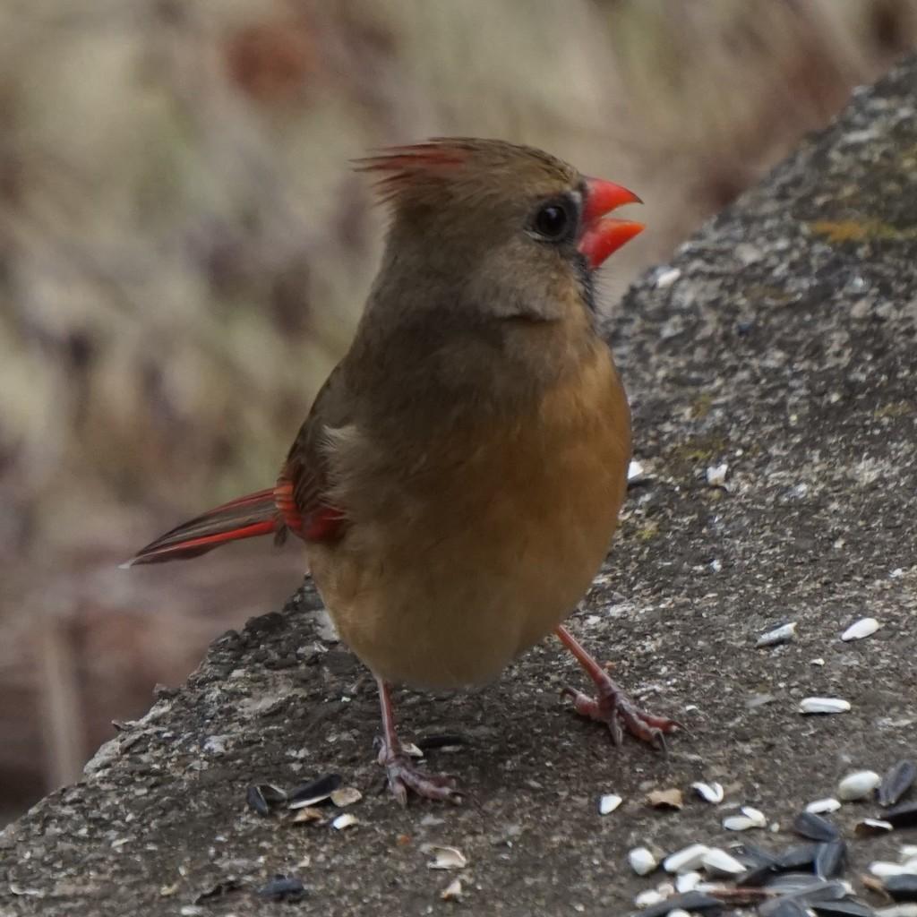 Female Cardinal by tunia
