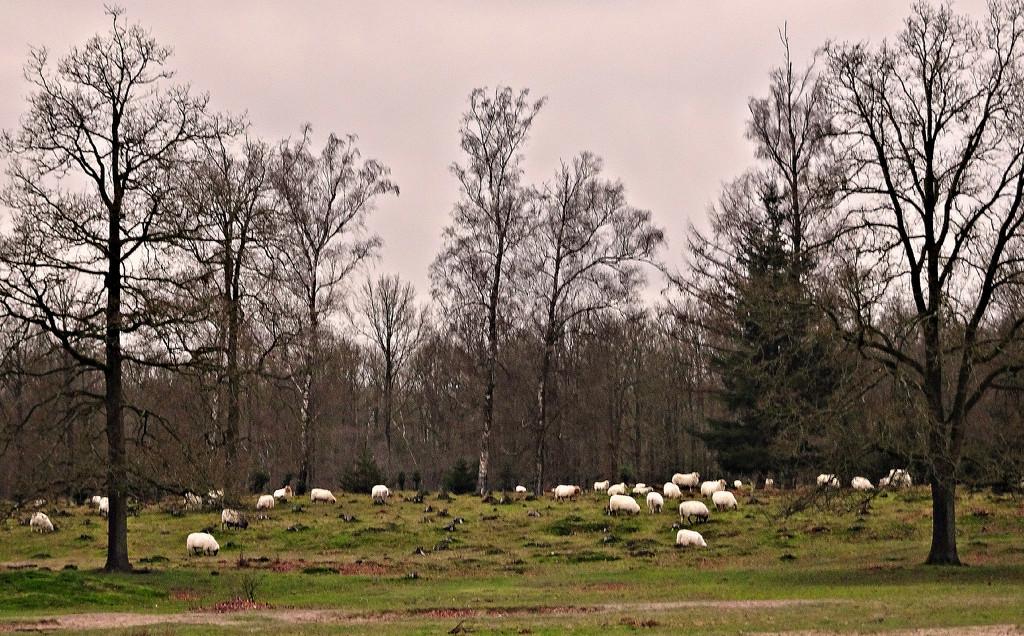 flock of heather sheep by gijsje