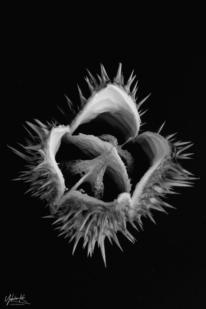 Datura stramonium (Jimsonweed) by yorkshirekiwi