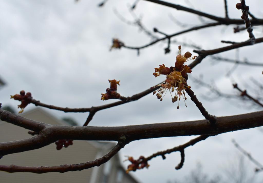 Maple in the rain by homeschoolmom