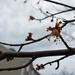 Maple in the rain