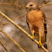 One More Red Shouldered Hawk!