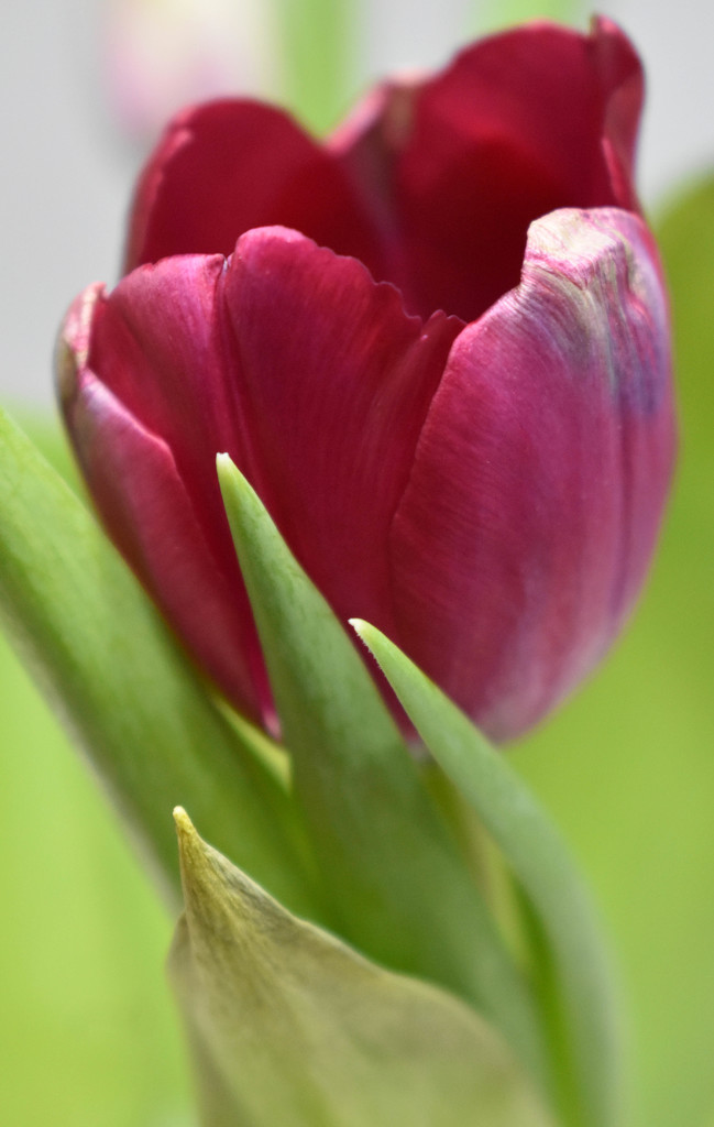 Another tulip by homeschoolmom