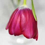 13th Feb 2020 - Tulip Bokeh