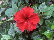 14th Feb 2020 - Hibiscus in flower