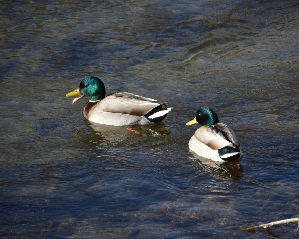 Mallards In A Ditch by bigdad
