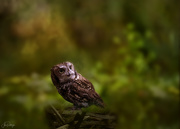 14th Feb 2020 - Screech Owl  for Textures