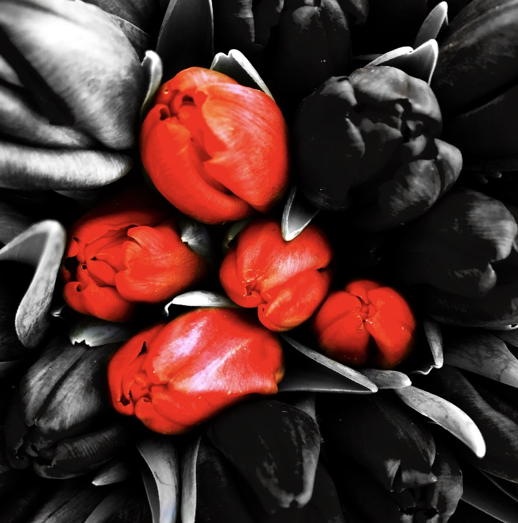 Tulips 2 by jacqbb