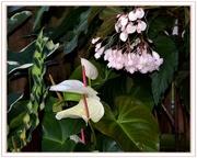 15th Feb 2020 - Anthurium.. white andreanum. ~