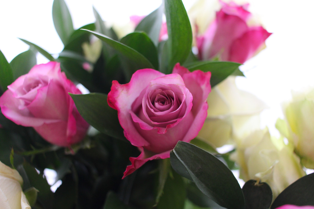 Valentine Roses by judyc57