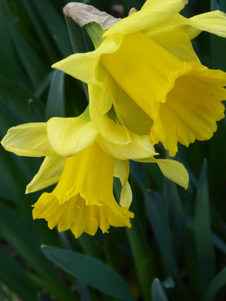 Daffodils by snowy