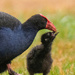 Pukeko (purple swamp hen) feeding a chick