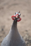 15th Feb 2020 - February Series - A month of Guinea Fowl (15)