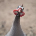 February Series - A month of Guinea Fowl (15) by kgolab