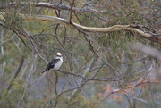 15th Feb 2020 - Kookaburra