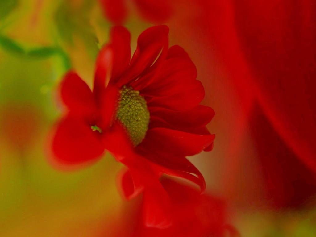 Scarlet........... by ziggy77