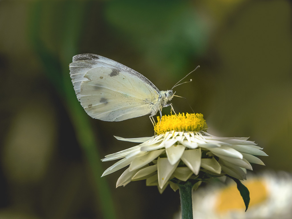 Cabbage White Butterfly by gosia