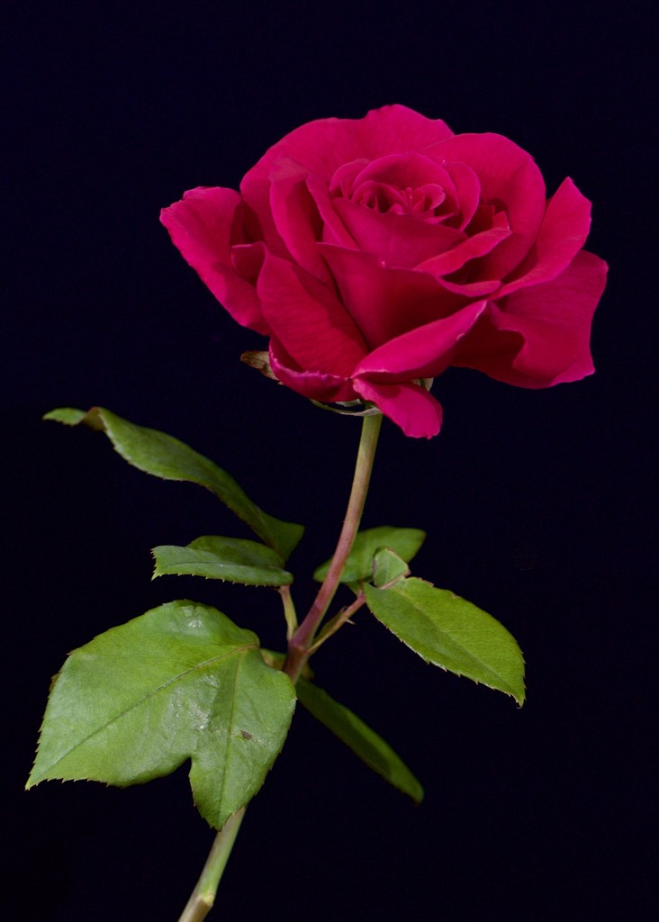 The Beautiful Mr Lincoln DSC_0409 by merrelyn