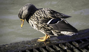 15th Feb 2020 - Another cute duck