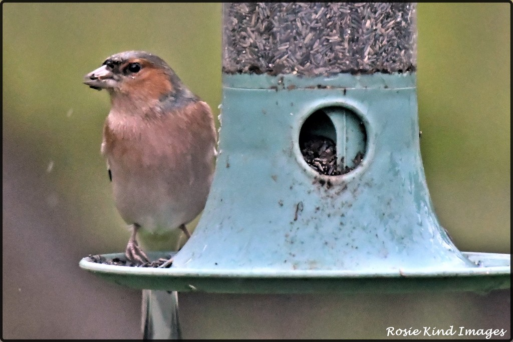 Mr Chaffinch enjoying some nyjer seed by rosiekind