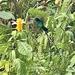 Streamerbird