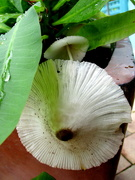 15th Feb 2020 - Surprise! Surprise!  Fungus growing in my pot plant
