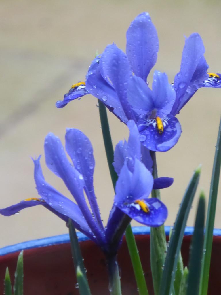 Dwarf Irises by snowy
