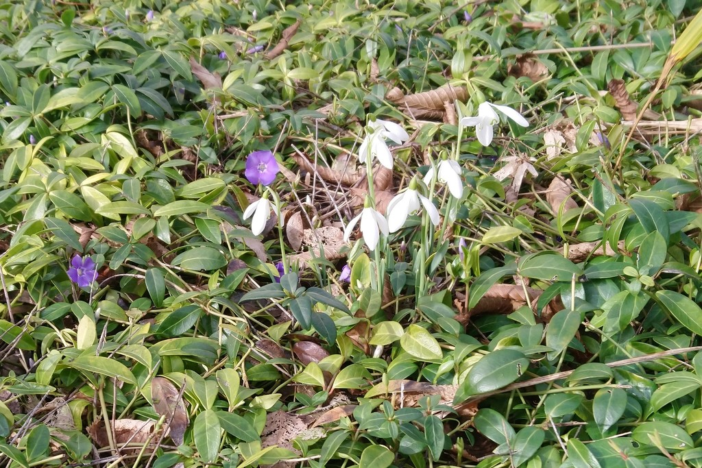 welcome intruders . snowdrops,  And her's a poem you may know by jmm