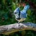 Blue Jay by backyardbirdnerd